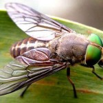 Green head fly