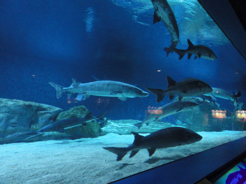 Beijing Aquarium sturgeon