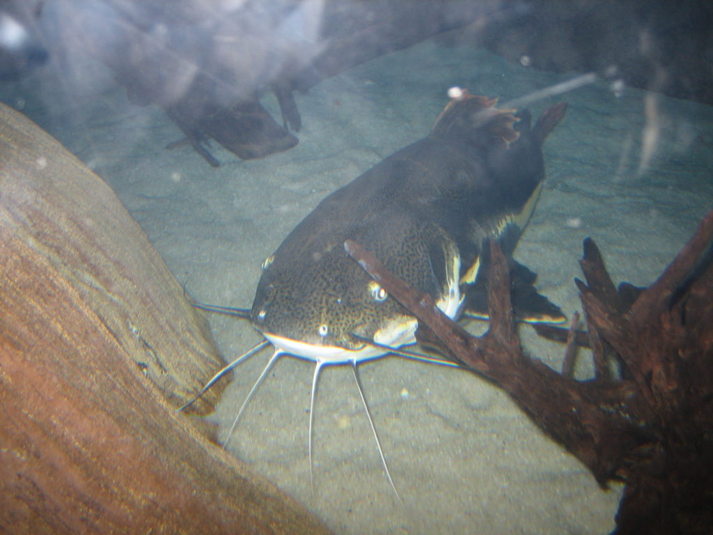 Catfish, Ripley's Aquarium of Myrtle Beach
