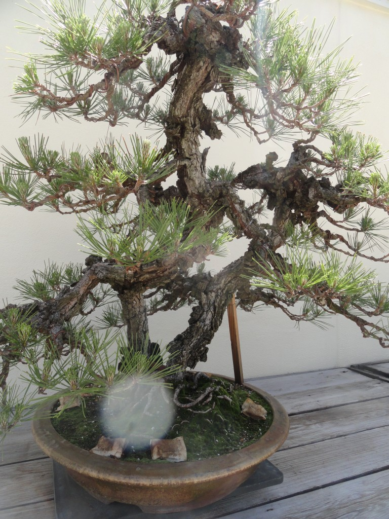 Japan Science Traveler Wiring Your Bonsai Tree